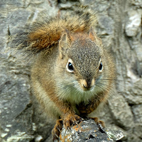 American Red Squirrel in Alaska
