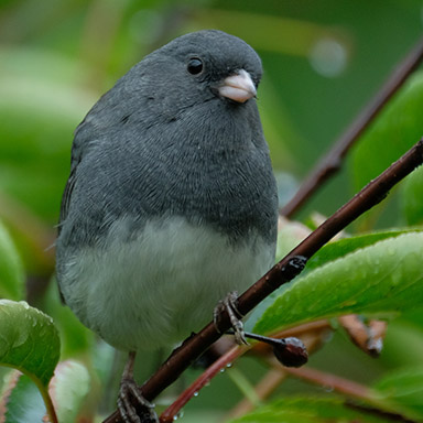 Northern Slate-colored Junco